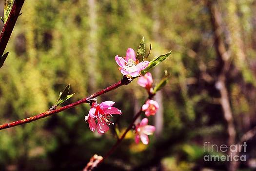 Peach Blossom by Virginia Pakkala