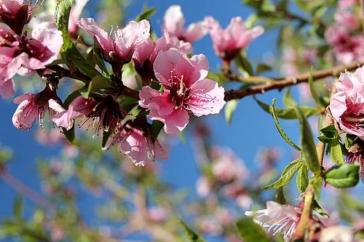 Peach Blossoms by Abril Gonzalez