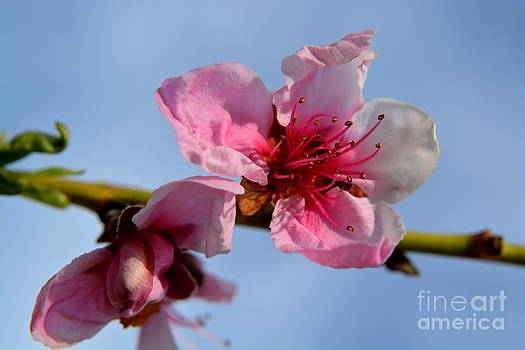 Peach Blossoms by Amber Whiting Bradley