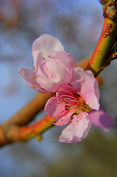 Peach Blossoms II by Amber Whiting Bradley