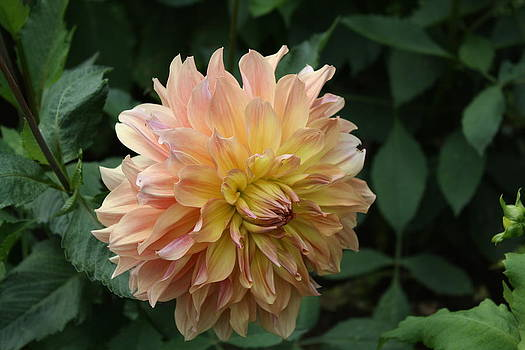 Donna Walsh - Peach Colored Dahlia