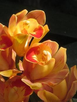 Alfred Ng - peach cymbidium orchid