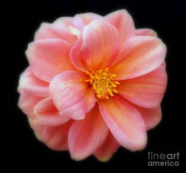 Linda Rae Cuthbertson - Peach Dahlia Flower
