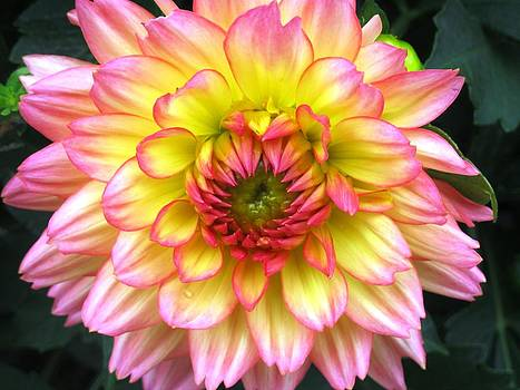 Peach Dahlia by Will Boutin Photos
