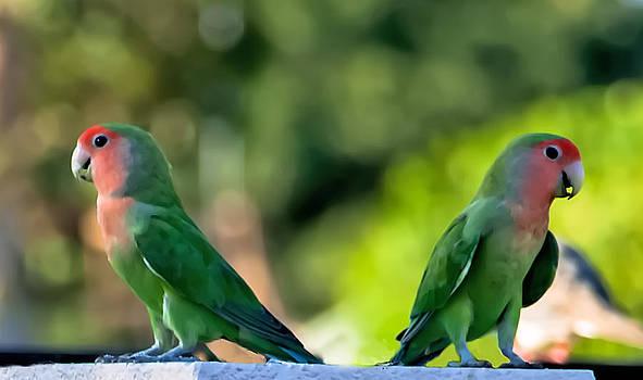 Steve Knievel - Peach Faced Love Bird Parrot 35