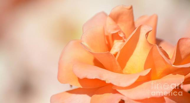 Peach Garden Rose by P S