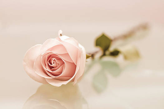 Elvira Pinkhas - Peach Rose