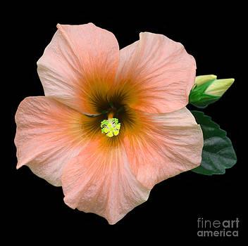 Peachy hibiscus by Rosemary Calvert
