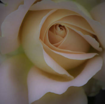 Peachy Rose by Melodie Douglas
