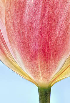 Jan Hagan - Peachy tulip