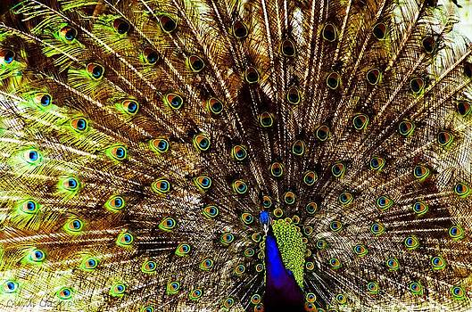 Cindi Castro - Peacock #2