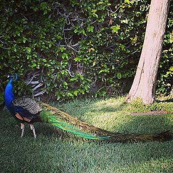 Peacock At Hollywood Forever Cemetery by Gia Marie Houck