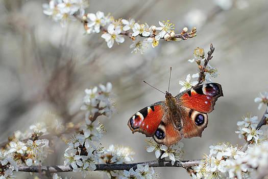 Peacock butterfly Inachis io  by Marek Mierzejewski