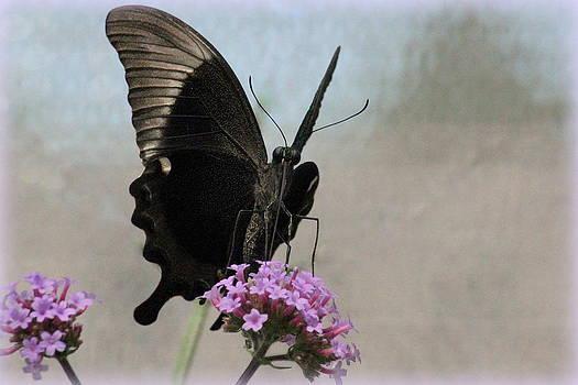 Rosanne Jordan - Peacock Butterfly Up Front