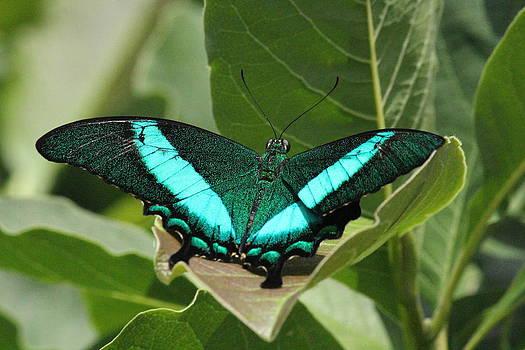 Rosanne Jordan - Peacock Butterfly Wings