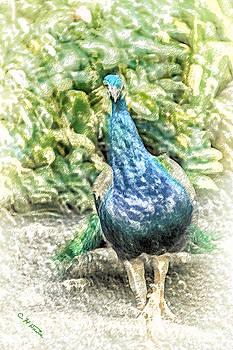 Charles Davis - Peacock