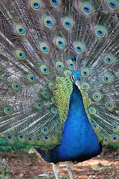 Peacock by Elizabeth Budd