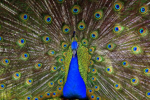 Peacock Extraordinaire  by DerekTXFactor Creative