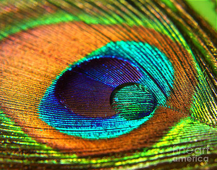 Peacock Feather with Water Drop by Pattie Calfy