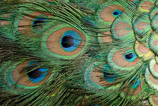 Peacock Feathers by Linda Freebury