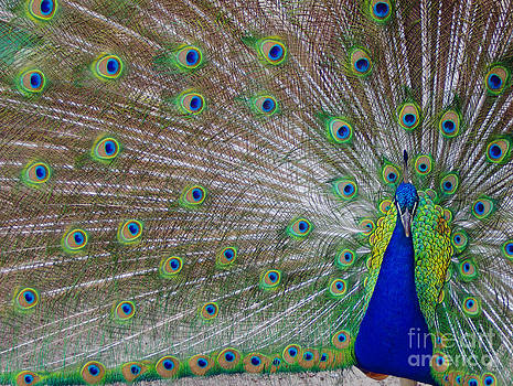 Peacock Feathers by Pamela Hymer