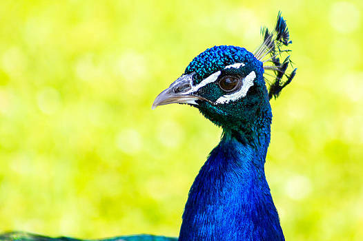 Gaurav Singh - Peacock
