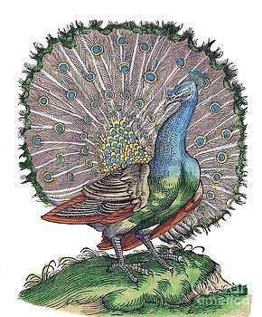 Science Source - Peacock Historiae Animalium