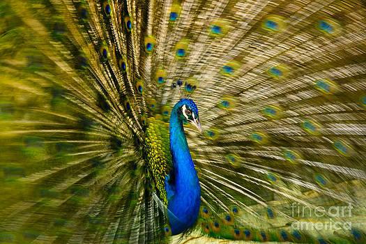 Oscar Gutierrez - Peacock in full display
