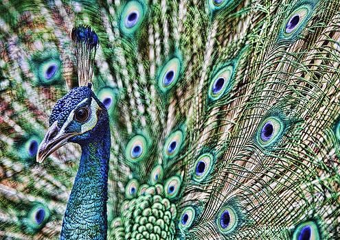 Peacock by Karen Walzer