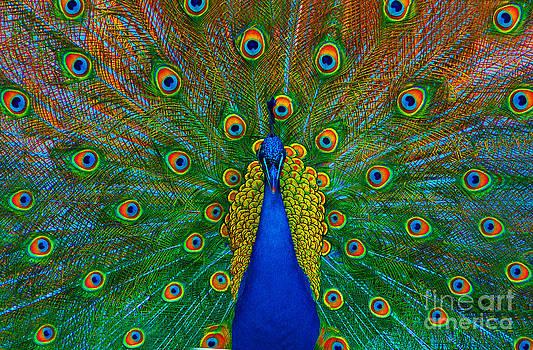 Peacock by Lilianna Sokolowska