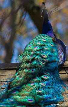 Peacock on a Roof by Ed Hernandez