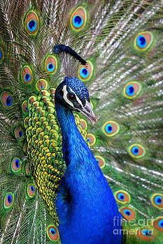 Peacock on Display by Lincoln Rogers