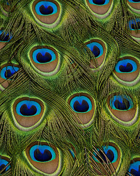 Peacock Print by Donna Caplinger