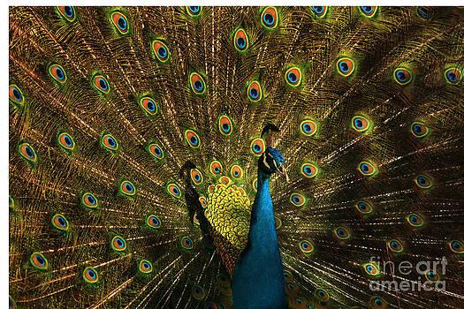Peacock showing off by Jasper Van Vessem
