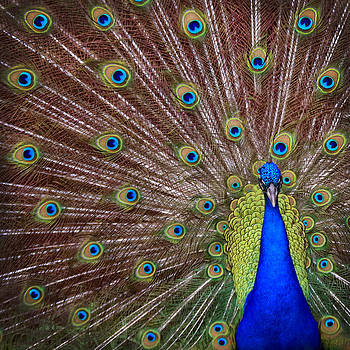Peacock squared by Jaki Miller