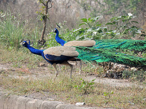 Peacocks On The Roadside by Ramesh Chand