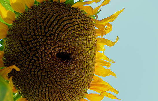 Peak a boo sunflower by Gregory Merlin Brown