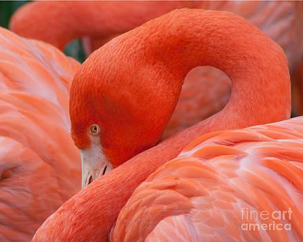 Peaking Flamingo by Kimberly Blom-Roemer