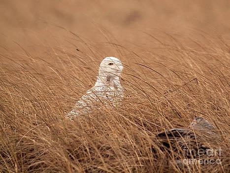 Tim Moore - Peaking Snowy Owl
