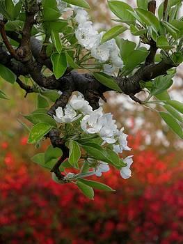 Alfred Ng - pear blossom
