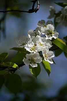 Pear Blossoms by David Earl Johnson
