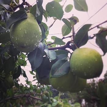 Pears Are Ripe! If You Live In Bham And by Trey Jackson