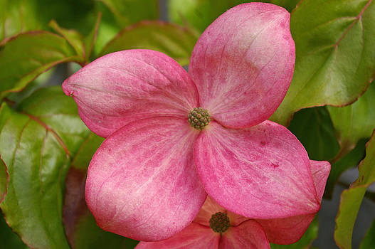 Peek a boo Dogwood by Christine Burdine
