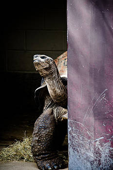 Peek-A-Boo Tortoise  by Swift Family