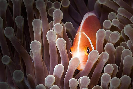 Peeking Anemone Fish by J Gregory Sherman