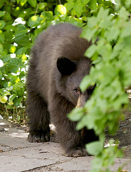 Paul Conrad - Peeking Bear Cub