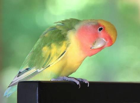 Peeking Peach Face Lovebird by Andrea Lazar