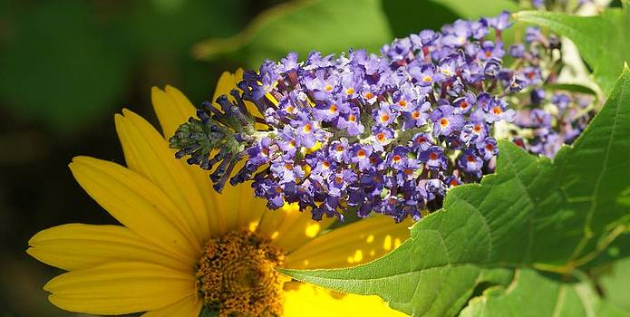 Rosemarie E Seppala - Peeking Yellow Daisy With Butterfly Bush In The Flower Garden