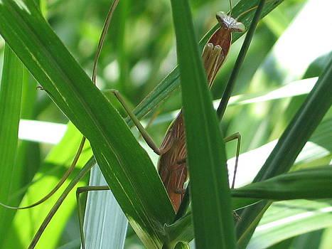 Rhonda Leonard - Peeping Praying Mantis