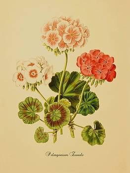 Pelargonium Zonale by Little Vintage Chest